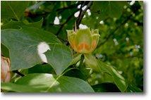 Fotografie Altro - Fiori&Fauna - Calice aperto del fiore di tulipifera