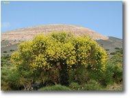 Foto Altro - Fiori&Fauna - Vulcano island: genista