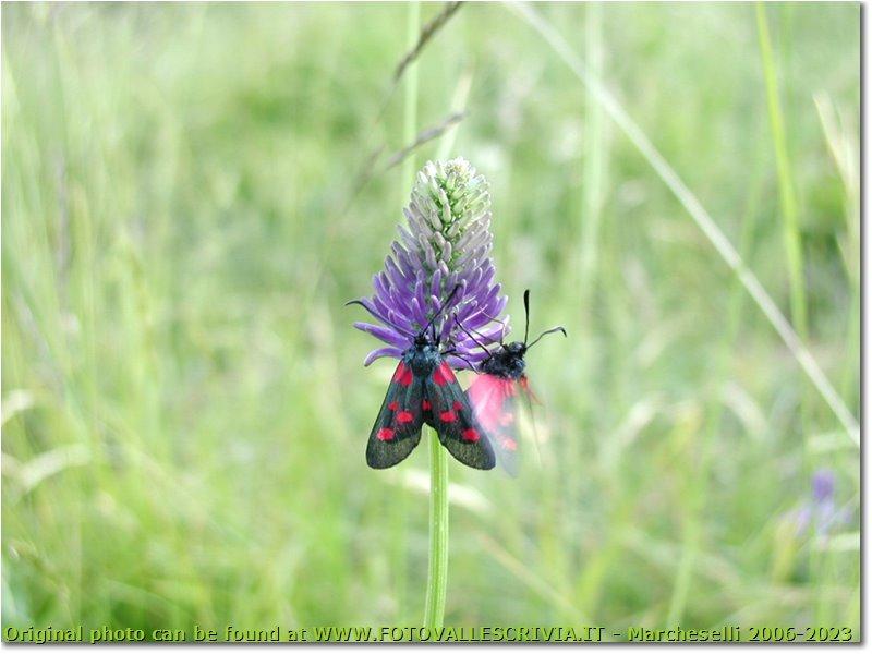 Fotografie Crocefieschi&Vobbia - Fiori&Fauna - Zygaena filipendulae butterfly