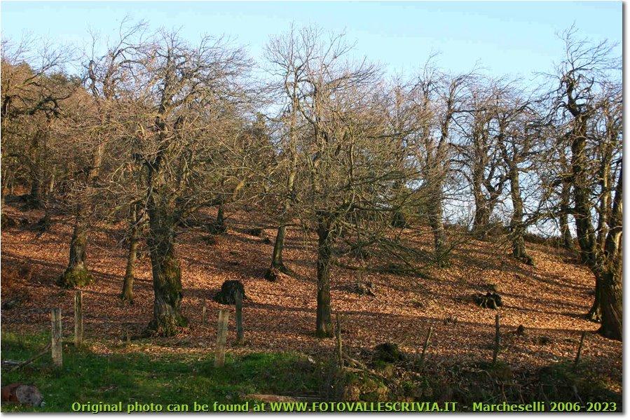 Fotografie Savignone - Boschi - Chestnut plantation, M. Maggio