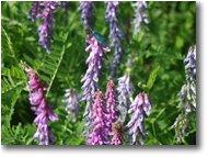 Fotografie Savignone - Fiori&Fauna - Cedrangola lupinella (Onobrychis sativa)