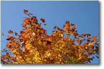 Foto Savignone - Fiori&Fauna - Fall colors: maple
