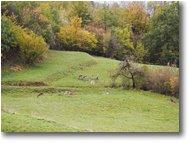 Fotografie Savignone - Fiori&Fauna - Daini al pascolo in autunno