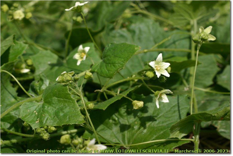 Fotografie Savignone - Fiori&Fauna - Fiore e fusto di brionia o zucca selvatica