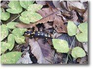 Foto Savignone - Fiori&Fauna - Salamandra