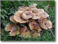 Fotografie Savignone - Fiori&Fauna - Un fungo del genere armillaria
