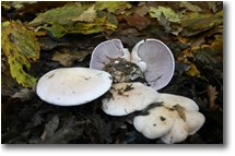 Fotografie Savignone - Fiori&Fauna -  Un fungo del genere clitocybe