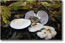 Fotografie Savignone - Fiori&Fauna - Clitocybe Mushroom