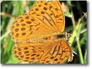 Fotografie Savignone - Fiori&Fauna - Una farfalla argynnis aglaia